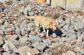 Rescue dog during a training exercise in a rubble zone Stock Photos
