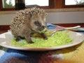 Rescued baby hedgehog