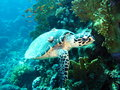 Resident red sea ​​turtle punished marine life Stock Photography
