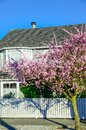 Residential house with white fence and blooming pink cherry flower in Seattle springtime Royalty Free Stock Photo