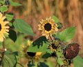 Resilient sunflowers under fall sunshine and green leaves hanging on through the change of weather standing tall sunny skies Royalty Free Stock Photo