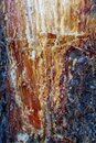 Resin of pine tree Royalty Free Stock Photo
