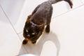Resort cat begging food Royalty Free Stock Photo