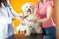Respiration check up of Maltese dog in vet clinic Royalty Free Stock Photo