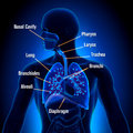 Respiratory System - Lungs anatomy view Royalty Free Stock Photo
