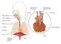 The respiratory system Royalty Free Stock Photo