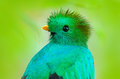 Resplendent Quetzal, Pharomachrus mocinno, from Guatemala with blurred green forest foreground and background. Magnificent sacred Royalty Free Stock Photo