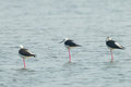The rest position of three black winged stil stilt himantopus himantopus in nature Royalty Free Stock Photography