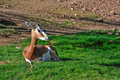 Resting Antelope Stock Photo