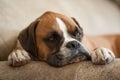 Resting Boxer Dog