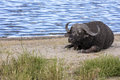 Resting cape buffalo by the water close up Stock Images