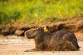 Resting capybara with cattle tyrant on back a in the sunlight near the edge of a riverbank yellow and gray its Stock Images