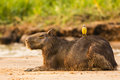 Resting capybara with cattle tyrant on beach a in the sunlight near the edge of a riverbank yellow and gray its back Stock Photos