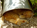 Resting cat red tabby under the bucket in very hot summer day Stock Photo