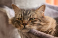 Resting cat serious looking main coon on a hammock Royalty Free Stock Images