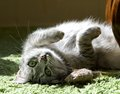 Resting cat in a shadow, dreaming cat face close up, lazy cat, lazy cat on day time, animals, domestic cat, cat resting on a sun Royalty Free Stock Photo