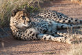 Resting cheetah private reserve okonjima namibia Stock Photography