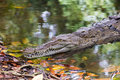 Resting crocodile in calm waters Stock Photos