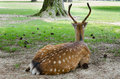 Resting deer Royalty Free Stock Photo