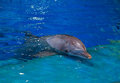 Resting dolphin in bright blue swimming pool Royalty Free Stock Image