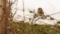 Resting Goldfinch Royalty Free Stock Photos