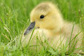 Resting gosling close up of a young in green grass Royalty Free Stock Photo
