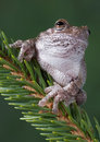 Resting gray tree frog Royalty Free Stock Images