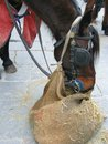 A resting horse in the city an eating harnessed center of florence italy Royalty Free Stock Photos