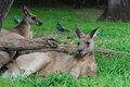 Resting Kangaroos Royalty Free Stock Photos