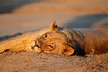 Resting lioness kalahari panthera leo in late afternoon light desert south africa Royalty Free Stock Images