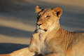 Resting lioness portrait of a panthera leo kalahari desert south africa Royalty Free Stock Images