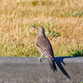 Resting northern flicker a male on a curb casting a shadow from the morning sun Royalty Free Stock Photos