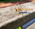 Resting odonata in the sunlight Royalty Free Stock Photography