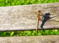 Resting odonata in the sunlight Stock Image