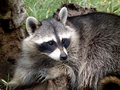 Resting Raccoon Royalty Free Stock Photography