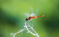 Resting red dragonfly in the wild Royalty Free Stock Photo