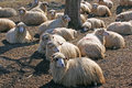 Resting sheep and lambs Royalty Free Stock Photo