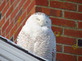 Resting snowy owl smiling in sunlight. Royalty Free Stock Photo