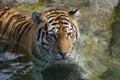 Resting Tiger (Panthera tigris altaica) Royalty Free Stock Photo