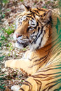 Resting tiger spotted in zoo Royalty Free Stock Photo