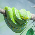 Resting wild green snake branch Royalty Free Stock Images