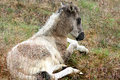 A resting young, little Icelandic foal Stock Photo