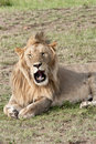 Resting young male lion in the Masai Mara National Stock Photography