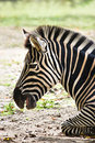 Resting zebra Stock Photos