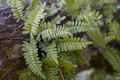 Resurrection Fern - Pleopeltis polypodioides Royalty Free Stock Photo