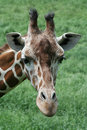 Reticulated Giraffe Royalty Free Stock Image