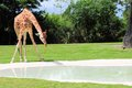Reticulated giraffe bending down to drink camelopardalis and getting ready in a pool of water in zoo miami south florida Royalty Free Stock Photo