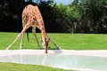 Reticulated giraffe drinking camelopardalis bending down and in a pool of water in zoo miami south florida Royalty Free Stock Photos