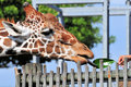 Reticulated Giraffe Eating a Leaf Royalty Free Stock Photography