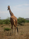 Reticulated giraffe giraffa camelopardalis reticulata one in samburu national park kenya africa Royalty Free Stock Image